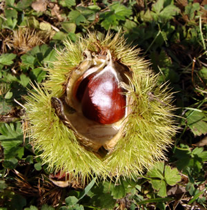 Colossal Chestnut sitting in burr