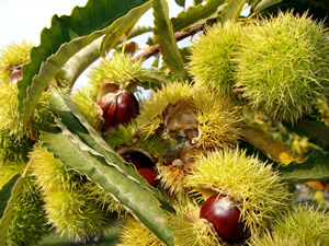 Colossal Chestnuts ready for harvesting