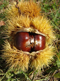 Chestnuts at Nella Chestnut Farm