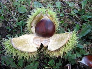 Perfect Colossal Chestnut!