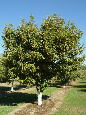 Nella Chestnut Farm - Colossal Chestnut Tree